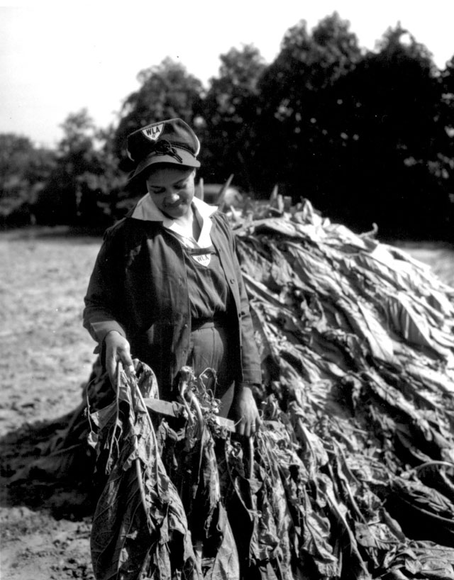Mrs. Sam Crawford helps with tobacco harvesting on her husband's farm in Maryland. Mrs. Crawford wears the  Women's Land Army uniform. October 8, 1943. Cooper. 145-AAA-272.
